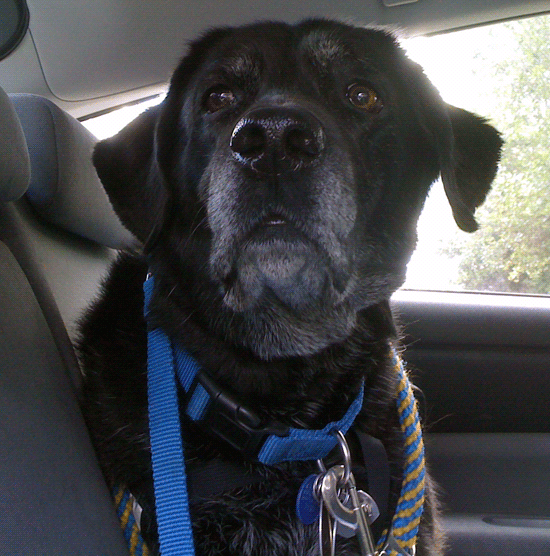 Gaynor in back seat of car with gray muzzle looking very distinguished in her old age.