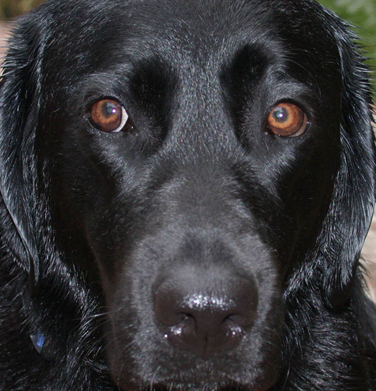 Closeup of Gaynor's face, wet after a bath, with big brown intelligent eyes and shining black fur, looking noble.