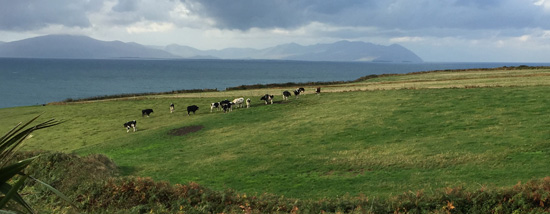 Cows grazing in a cliffside field overlooking the bay with mountains in the background