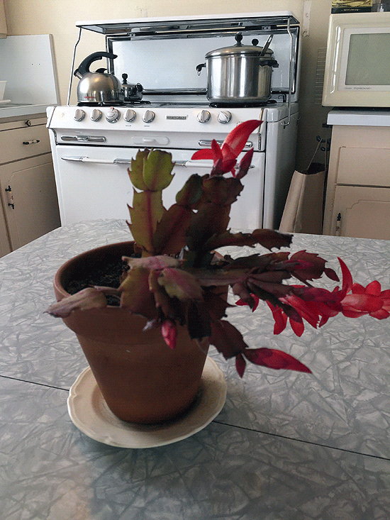 Formica and chrome table with blooming christmas cactus and stove in background